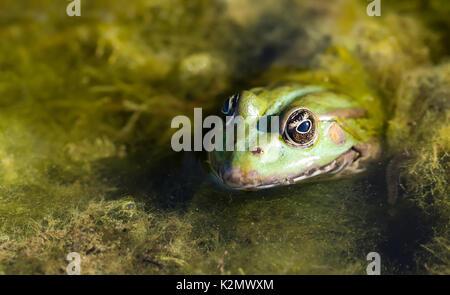 Green Marsh frog natural habitat, camouflage amphibian Pelophylax ridibundus. Macro view, selective focus, river - Stock Photo