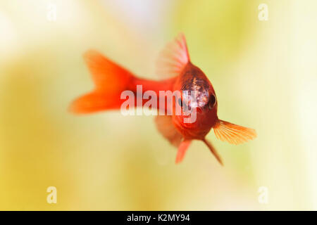 Beautiful red fish on soft green background. Male barb swimming tropical freshwater aquarium tank. Puntius titteya - Stock Photo