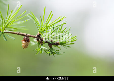 Fir branch with fresh green needles small fir-cone. spring time nature landscape, sunny day. green energy, eco concept. - Stock Photo