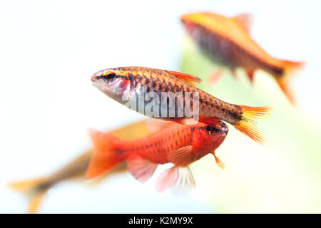Group beautiful aquarium fishes red orange color. Cherry barb fishes macro nature concept. shallow depth of field, - Stock Photo