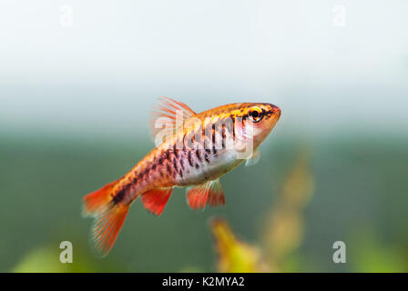 Fishtank landscape with red orange fish cherry Barb. Tropical freshwater aquarium with female Puntius titteya pet - Stock Photo