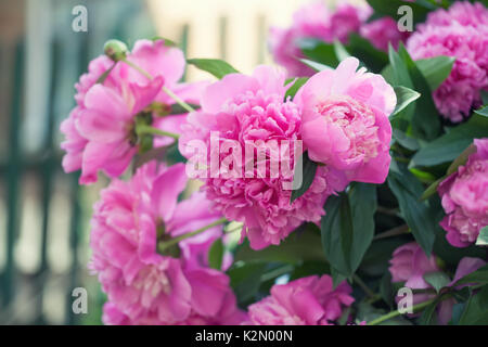Beautiful pink peony flowers garden still life. Blooming violet flowering plant. shallow depth of field photo. - Stock Photo