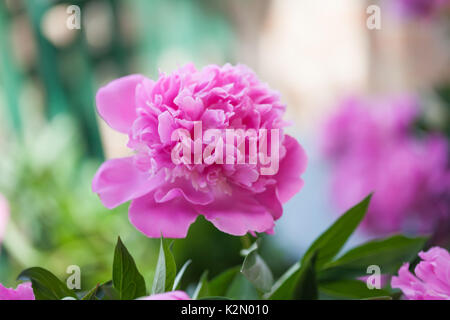 Blooming peony flowers garden landscape. Violet pink flower shallow depth of field photo. - Stock Photo