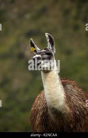 Llama at Machu Picchu (World Heritage Site), Peru, South America - Stock Photo