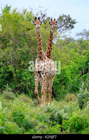 Cape giraffes (Giraffa camelopardalis giraffa), subadult, half-grown young animal, two, food search, Saint Lucia - Stock Photo