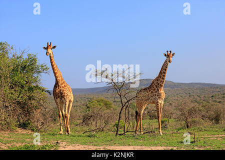 Cape giraffes (Giraffa camelopardalis giraffa), adult, pair, food search, Hluhluwe Umfolozi National Park - Stock Photo