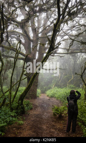 Tourists takes pictures of trees in fog forest, laurel forest, Raya la Llania, El Hierro, Canary Islands, Spain Stock Photo