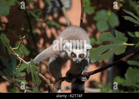 Gray with white striped ring tailed lemur in an animal park sitting on a branch - Stock Photo