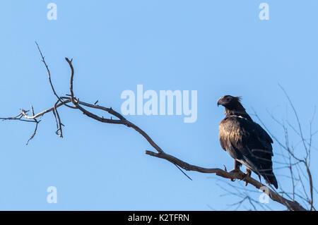 Wedge-Tailed Eagle, Aquila audax - Stock Photo