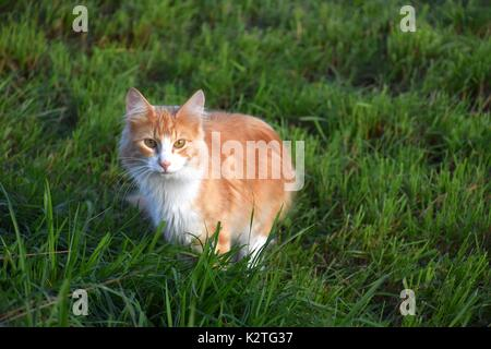 Long-haired tortoiseshell cat, orange and White Torties, Particolored Cat, Felis Catus, Felis Silvestris catus - Stock Photo