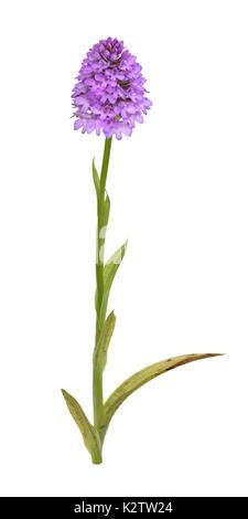 Pyramidal Orchid - Anacamptis pyramidalis - Stock Photo