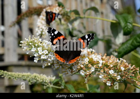 red admiral on buddleia flowers. Open wings show distinctive red white and black markings - Stock Photo