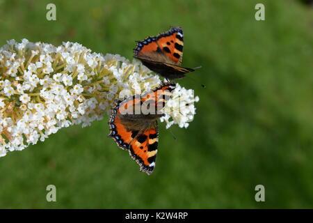 two small tortoiseshell butterflies on the butterfly bush -buddleia - Stock Photo