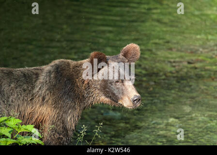 Grizzly  bear (Ursus arctos horribilis), Fish creek, Tongass National Forest, Hyder, Alaska, USA, North America - Stock Photo