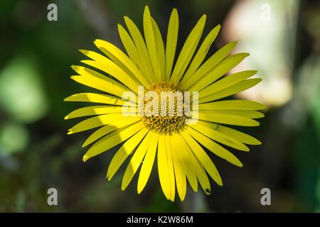 A leopard's bane (Doronicum orientale) flower - Stock Photo