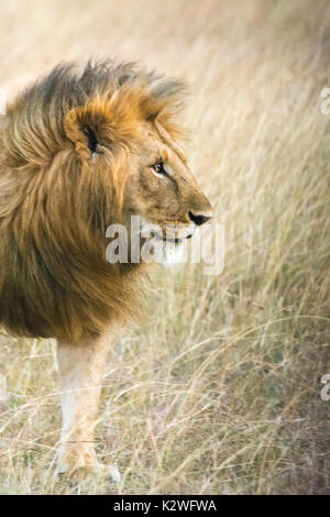 Profile portrait of a male African Lion, Panthera leo, with a huge, beautiful mane, Masai Mara National Reserve, - Stock Photo