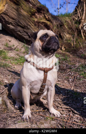 pug dog  in a summer park. - Stock Photo