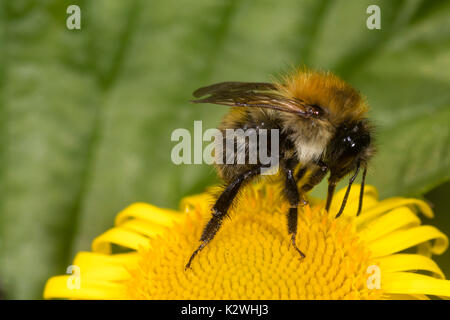 Worker of the Common carder bee, Bombus pascuorum, feeding on common fleabane, Pulicaria dysenterica - Stock Photo