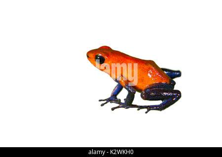 The strawberry poison dart frog (Oophaga [Dendrobates] pumilio), isolated on white background - Stock Photo