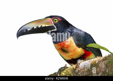 Crouched collared araçari (Pteroglossus torquatus) portrait, isolated on white background. - Stock Photo