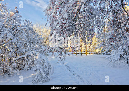 Trees in city park covered with fluffy snow at sunny day on the blue sky background.  In the foreground is apple - Stock Photo