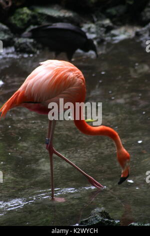 Flamingos vary in color from the lightest pinks that are close to white to a dark almost red. - Stock Photo