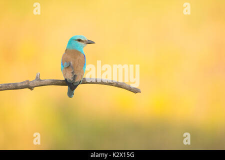 European Roller (Coracias garrulus), adult, perched on branch, Vojvodina, Serbia, June - Stock Photo