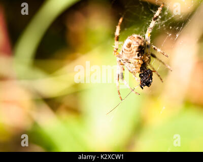 barn spider on a web Stock Photo: 12069946 - Alamy