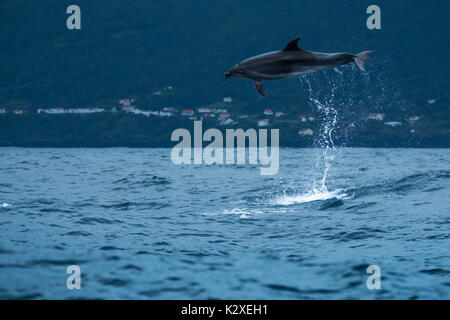 A bottlenose dolphin (Tursiops truncatus) leaps w metres out of the water in the Atlantic Ocean near to Pico Island - Stock Photo