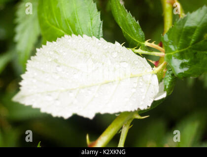 close up of underside of green leaf water rain drops; England; UK - Stock Photo