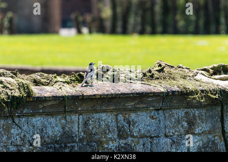 A pied wagtail (Motacilla alba yarrellii) sitting on a wall - Stock Photo