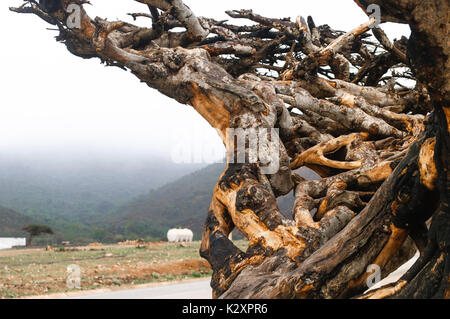 A big leafless tree on the way to mountains beside a magnet road in Salalah. - Stock Photo