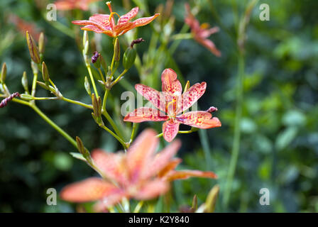 Brave magenta tiger lilies - Stock Photo
