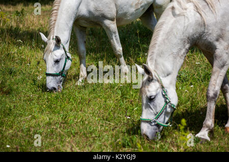 Lipizzaner horses originally coming from the small village of Lipica in Slovenia. Stallions and Mayors are still breed for the centuries. Stock Photo