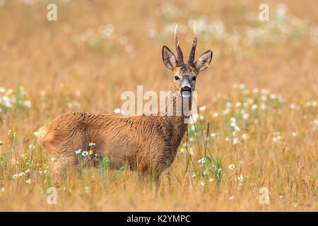 European roe deer (Capreolus capreolus) buck foraging in cereal field in summer - Stock Photo