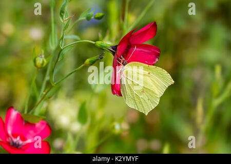 Common brimstone (Gonepteryx rhamni) feeding on nectar from flower in meadow - Stock Photo