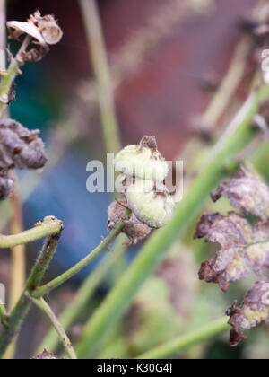 two green closed flower buds wet summer; England; UK - Stock Photo