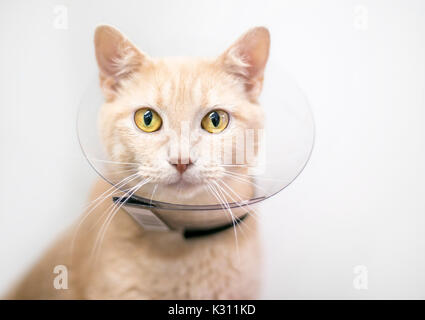 Domestic shorthair cat wearing a protective Elizabethan collar after surgery - Stock Photo