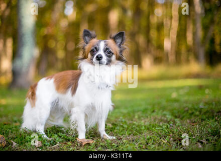 A brown and white Long Haired Chihuahua mixed breed dog outdoors - Stock Photo