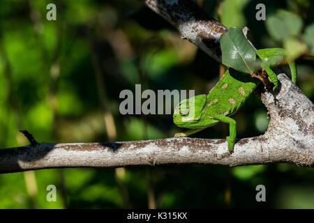A baby Mediterranean Chameleon (Chamaeleo chamaeleon) slowly moving on a carob tree branch in Malta. - Stock Photo