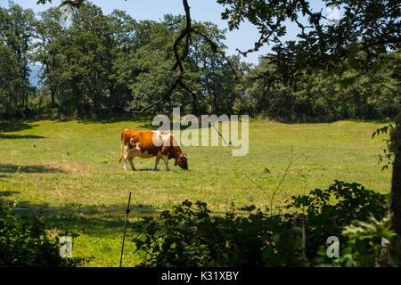 Livestock. Cow farm, Las Merindades County Burgos, Castile and Leon, Spain, Europe
