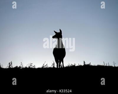 Backlit silhouette of lone standing Red Deer hind (Dama dama) on skyline against blue sky, Derbyshire, UK - Stock Photo