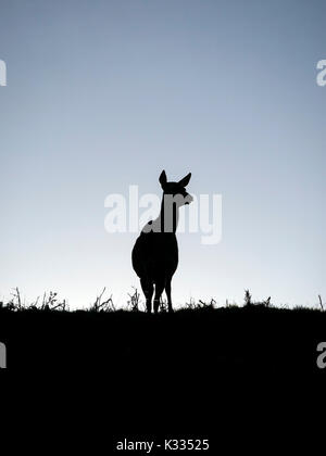 Backlit silhouette of lone standing Red Deer hind (Dama dama) on skyline against blue sky, Leicestershire, UK - Stock Photo