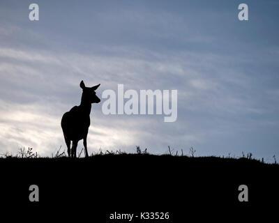 Backlit silhouette of lone standing Red Deer hind (Cervus elaphus) on skyline against blue sky, Derbyshire, UK - Stock Photo