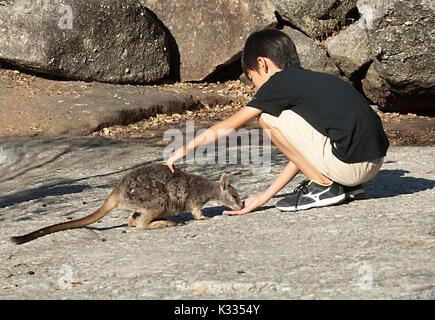 Young boy feeding endangered Mareeba Unadorned Rock Wallaby (Petrogale inornata, Mareeba race), Granite Gorge Nature - Stock Photo