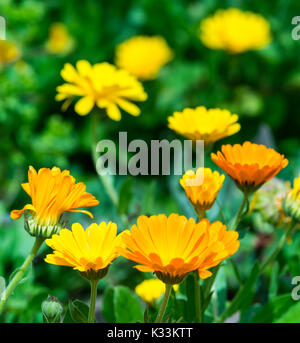 Calendula officinalis (Pot Marigold) flowers in Summer in West Sussex, England, UK. AKA Common Marigold, Ruddles, - Stock Photo