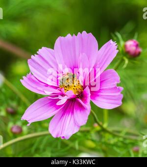 Pink Cosmos bipinnatus 'Sensation Mixed' (Sensation series) (AKA Mexican Aster or Garden Cosmos) in Summer in West - Stock Photo