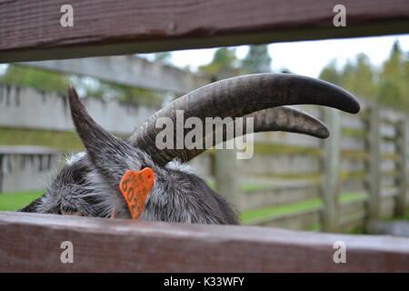 Goat at Skaret - Stock Photo