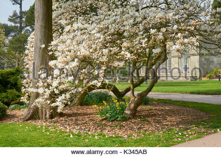 The white flowers of a Magnolia tree in Margam country park near Port Talbot South Wales UK - Stock Photo