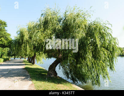 big willow tree leaning over water lake - Stock Photo